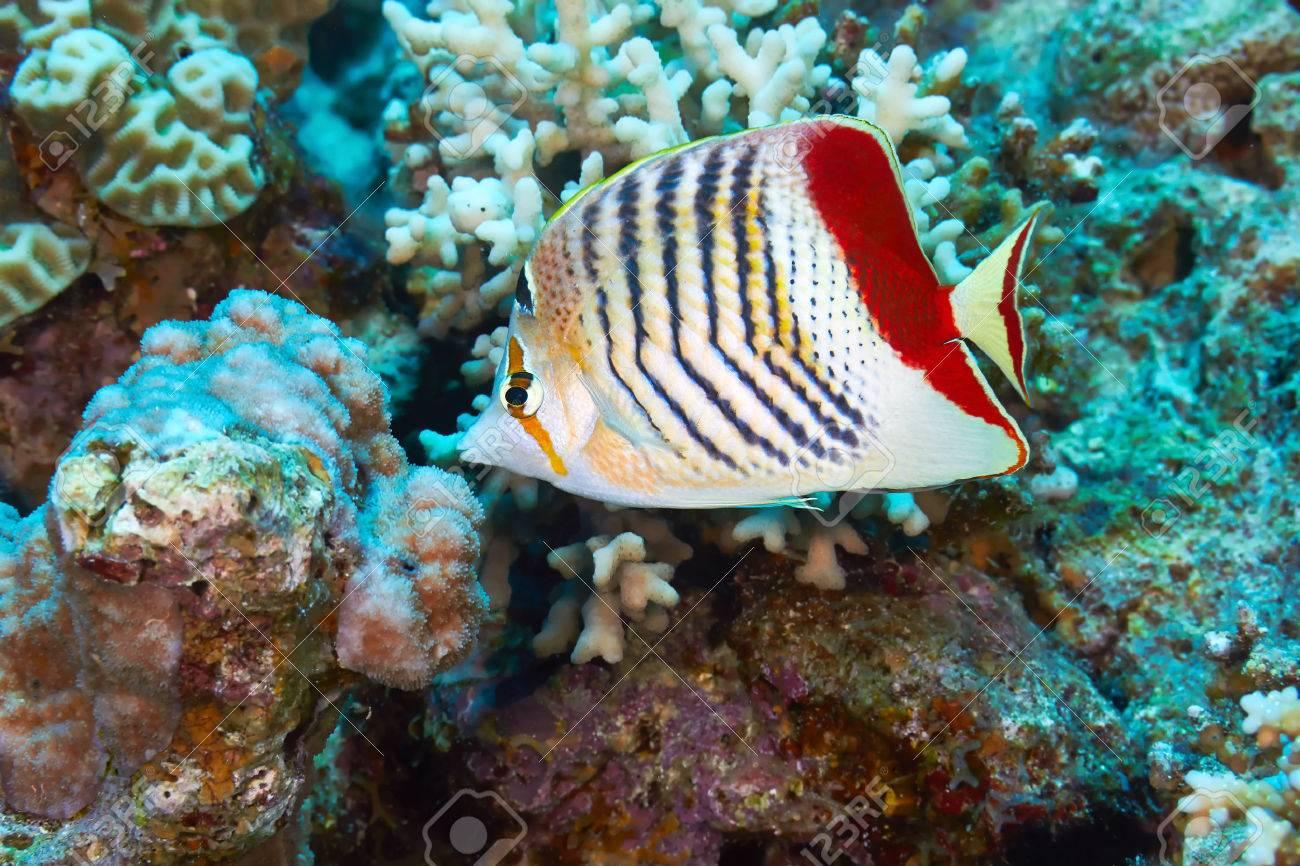Eritrean butterflyfish (Chaetodon paucifasciatus) in the Red Sea, Egypt. Stock Photo - 28063125