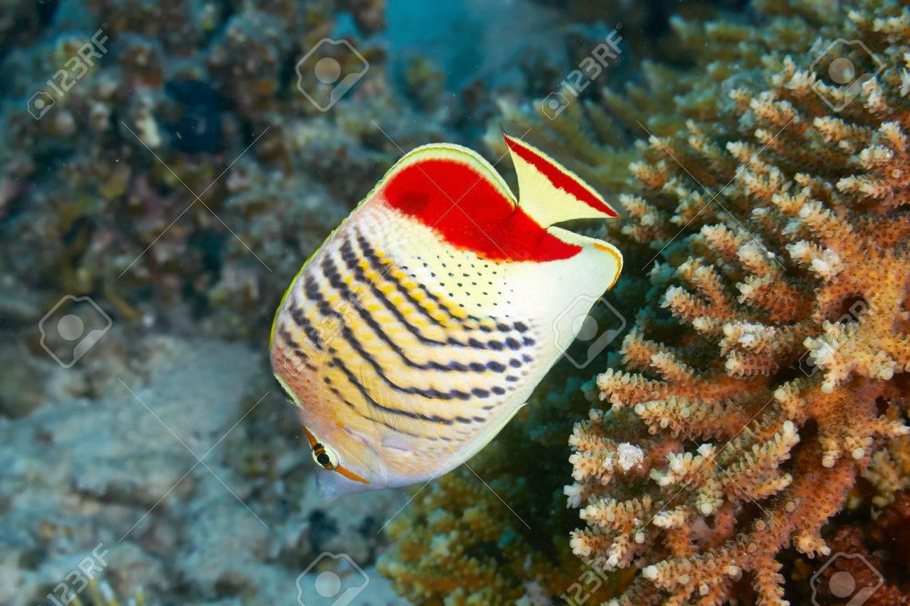 Eritrean butterflyfish (Chaetodon paucifasciatus) in the Red Sea, Egypt. Stock Photo - 29899899