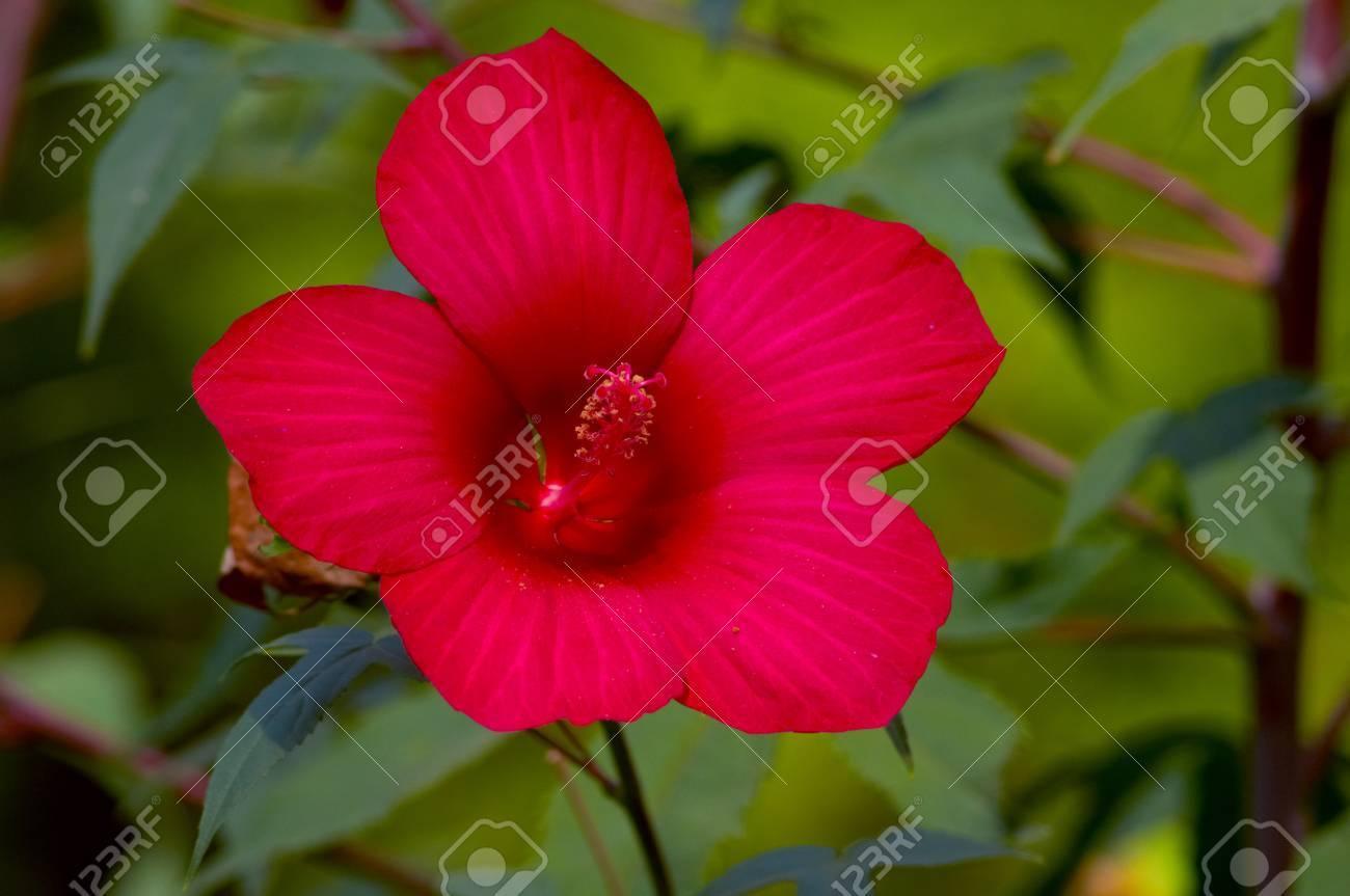 gros plan de la fleur d'hibiscus rouge magnifique sur le backgound