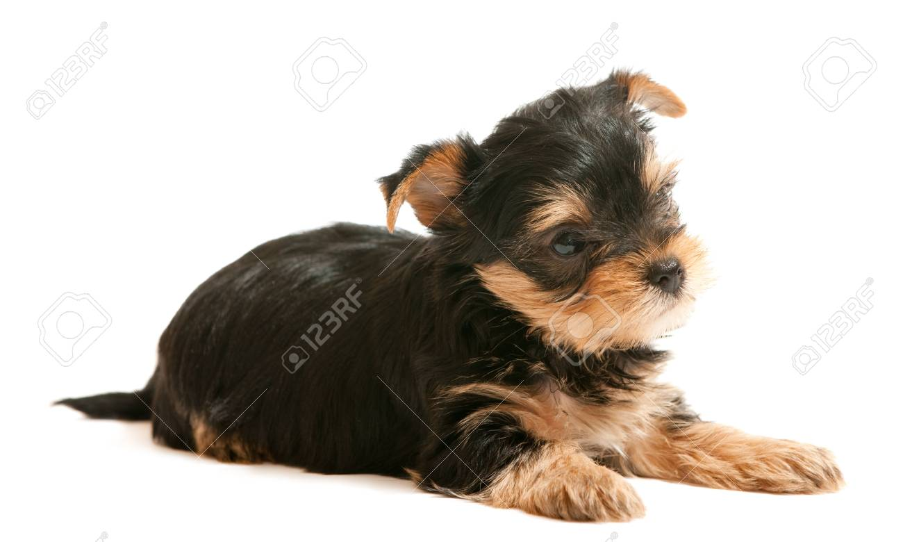 A little lying puppy of yorkshire terrier; isolated on the white background Stock Photo - 6559059