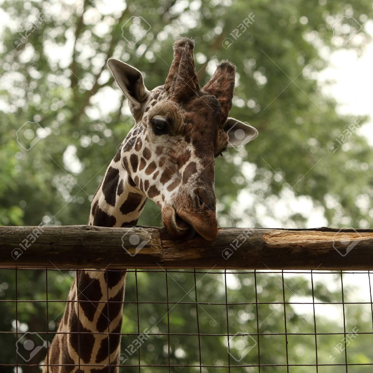 Giraffe portrait in the zoo Stock Photo - 10319978