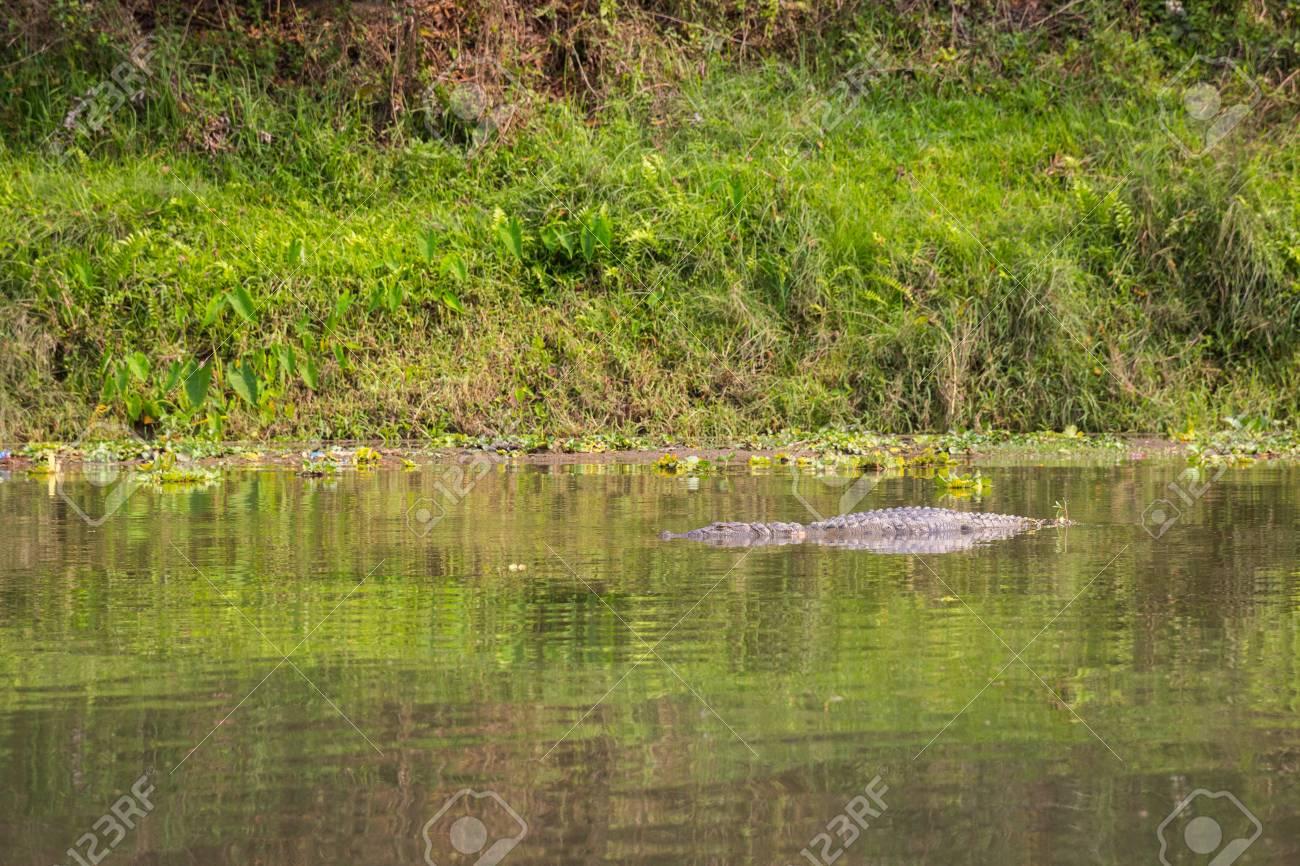 Crocodile in the National Park Chitwan