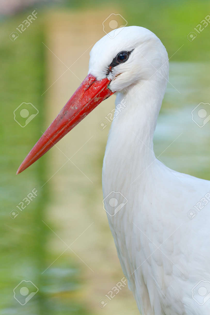 Head of a stork on the lake background Stock Photo - 12332962