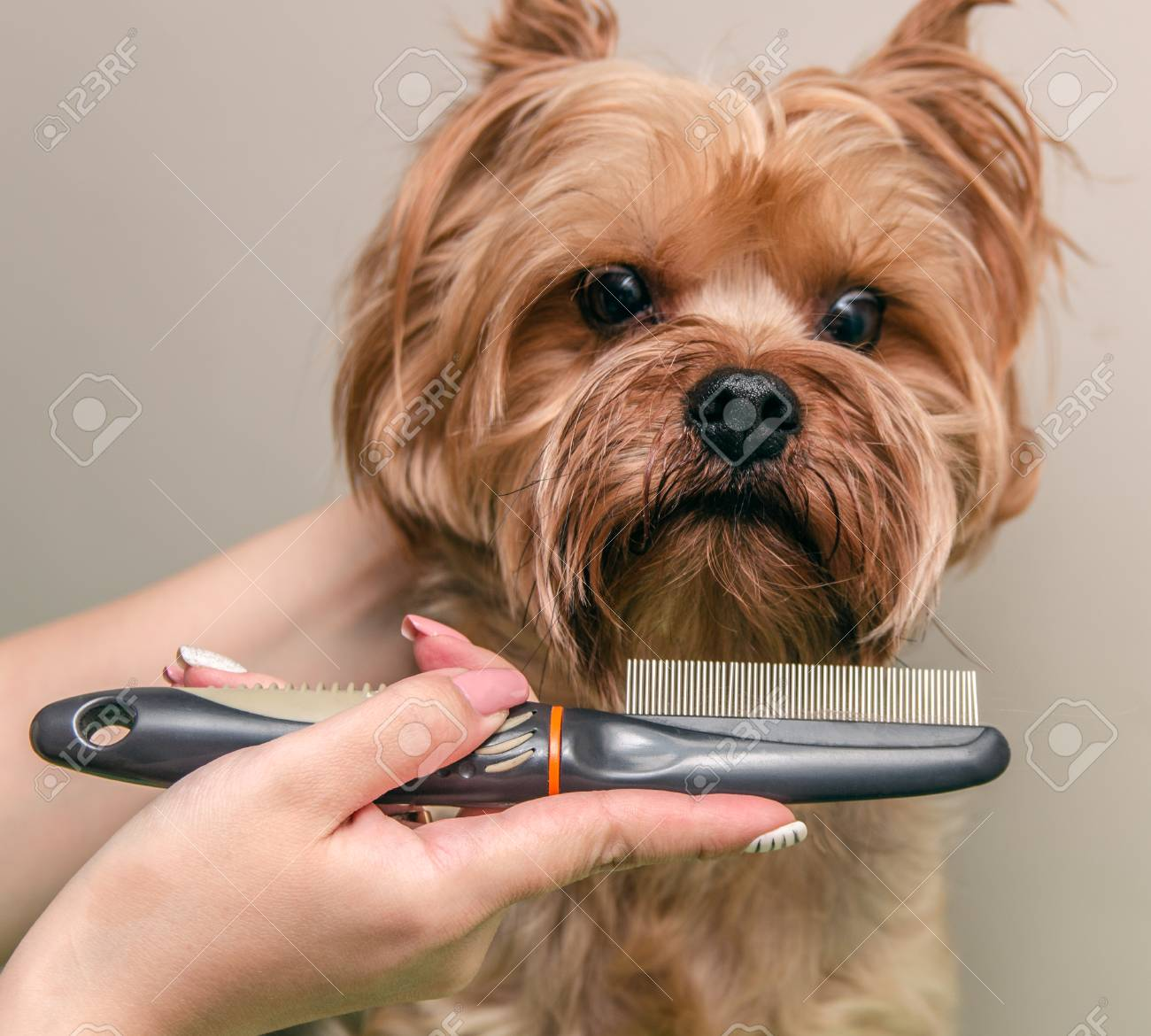 Yorkshire Terrier Combing And Doing Grooming Close Up Stock Photo