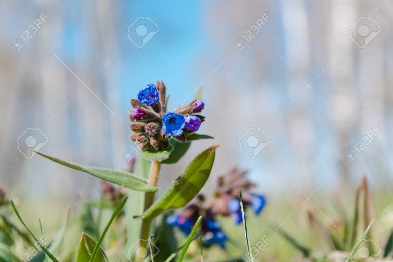 The medunitsa is blue glade of flowers spring flowers first the medunitsa is blue glade of flowers spring flowers first flowers stock mightylinksfo