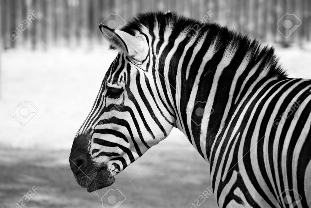 portrait of zebra black and  Zebra Head Profile