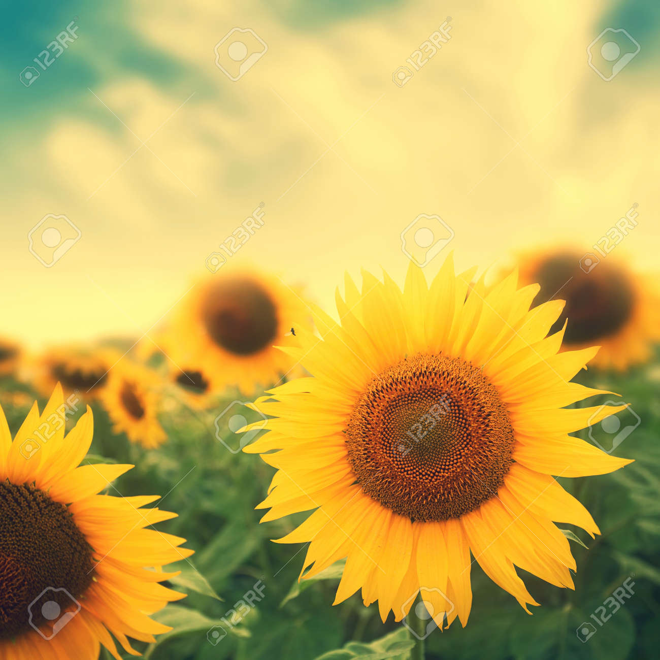 Sun Flowers In Field With Retro Colors Stock Photo Picture And