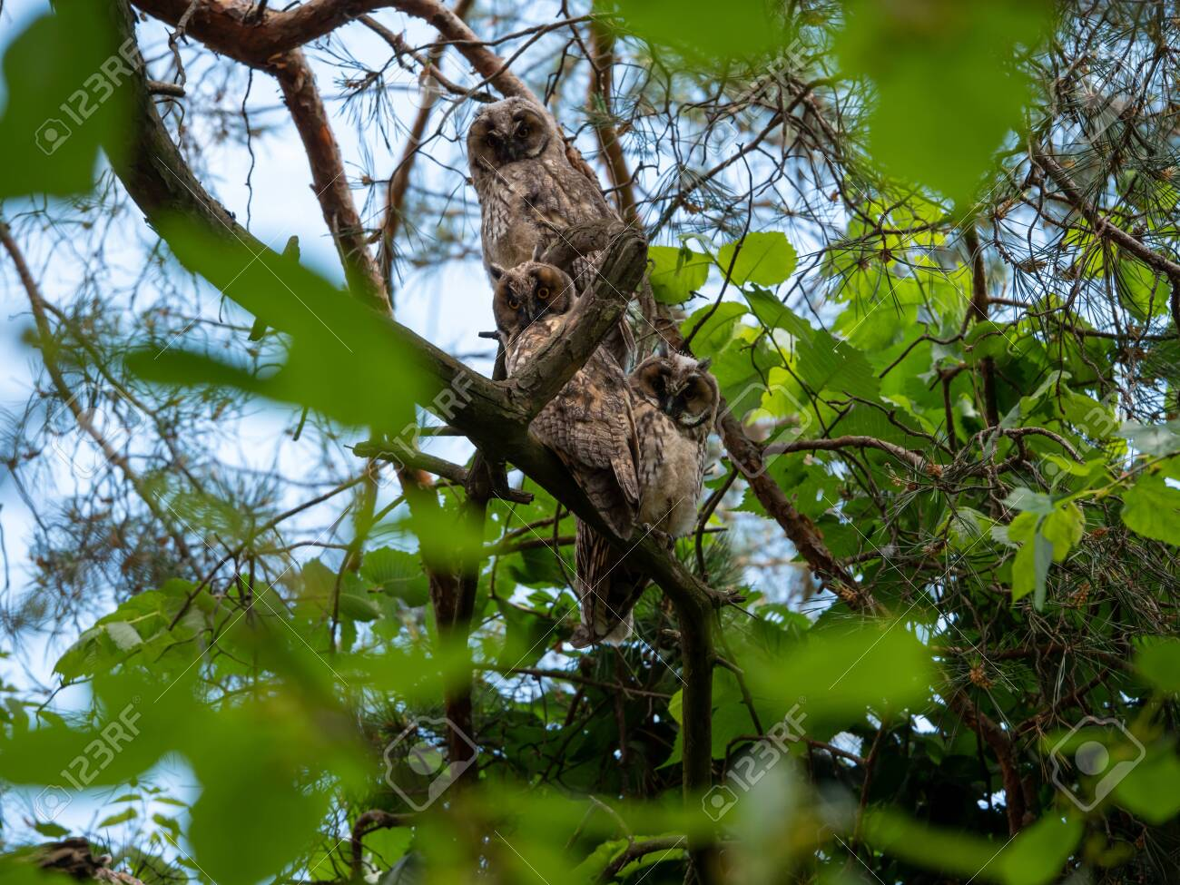 A family of owls sits on a pine branch in the afternoon. - 149743458