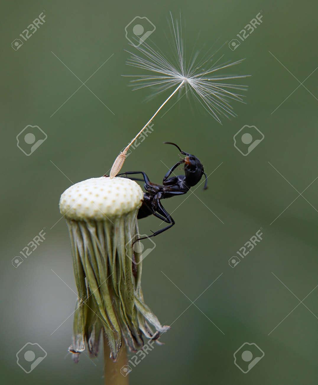 Closeup of Ant on bald dandelion Stock Photo - 6245840