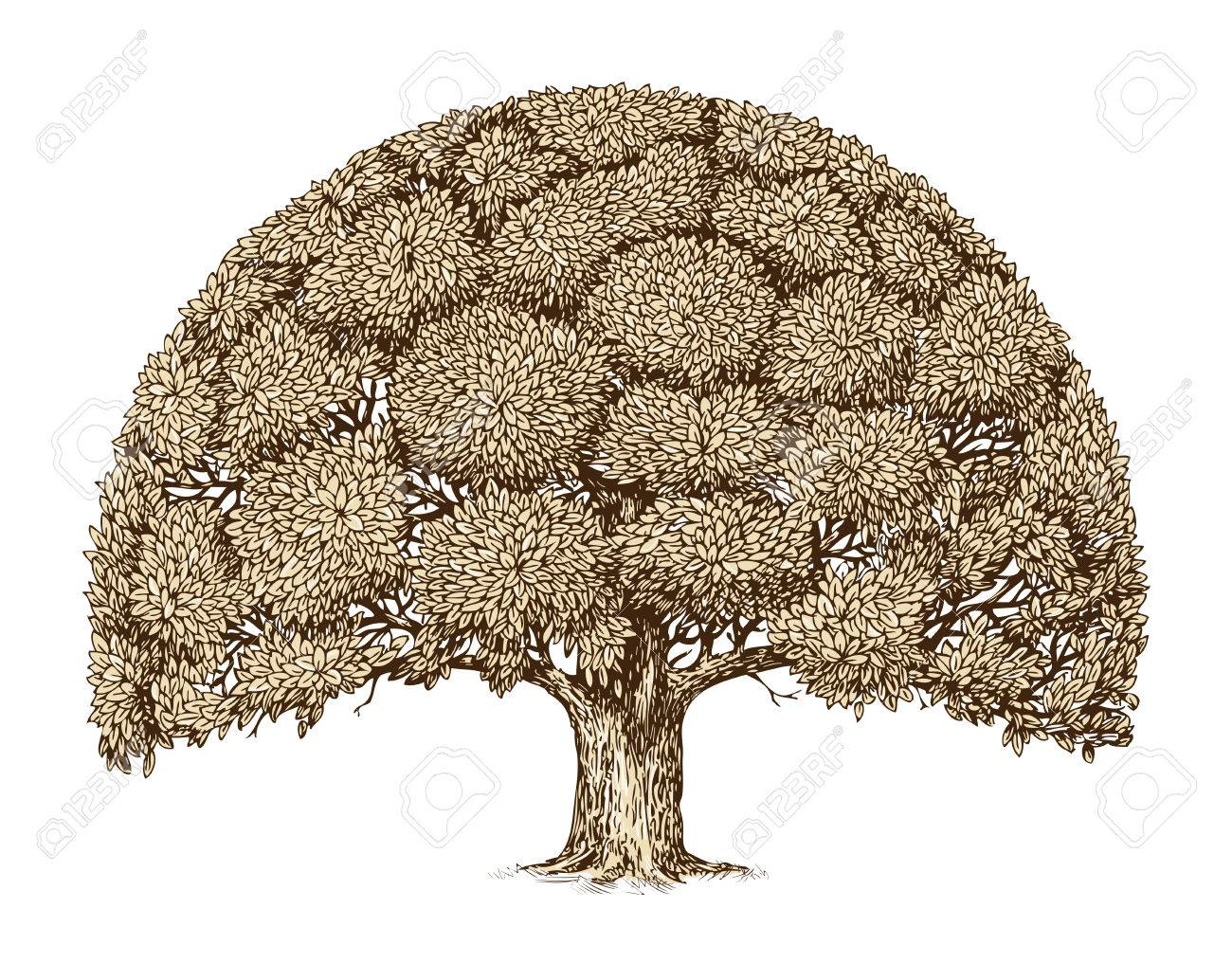Vintage Tree Foliage Hand Drawn Sketch Old Oak Nature Royalty Free Cliparts Vectors And Stock Illustration Image 57887833