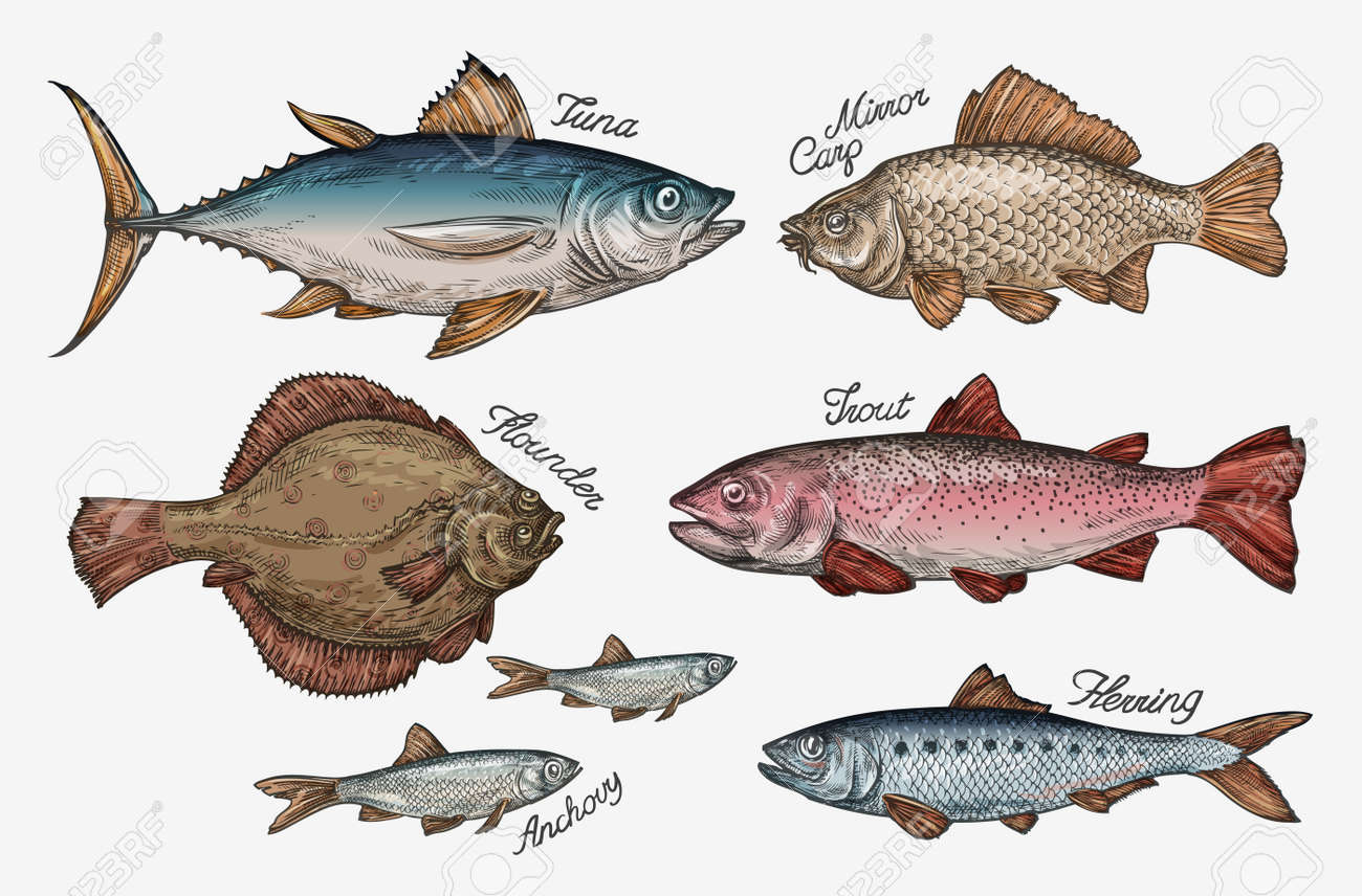 Seafood. Collection fish such as tuna, trout, carp, flounder, anchovy herring Vector illustration - 62204978