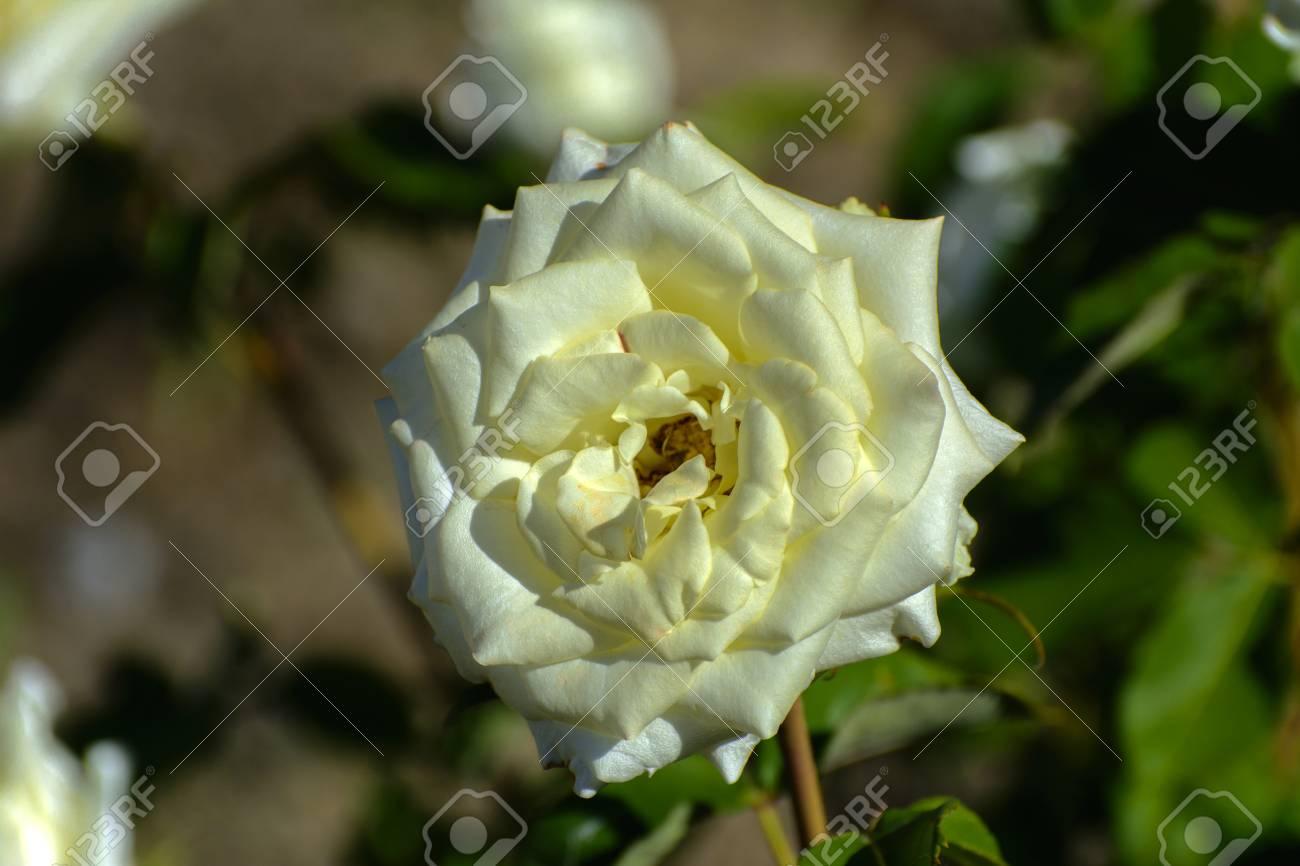 Bonito Uñas Blancas Medio Rosa Medio Ilustración - Ideas Para ...