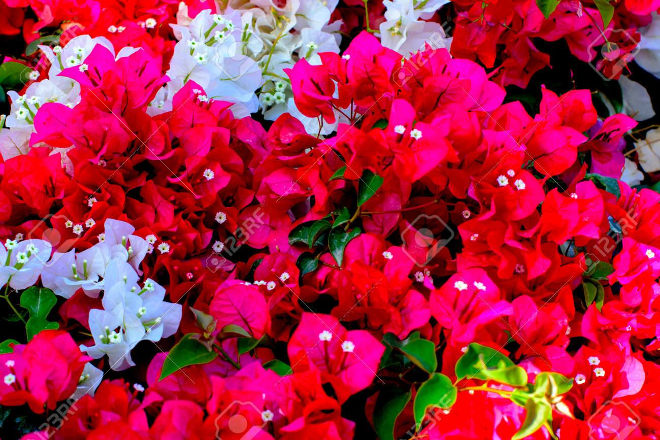 Wall With Red And White Flowers A Natural Floral Spring Blooming