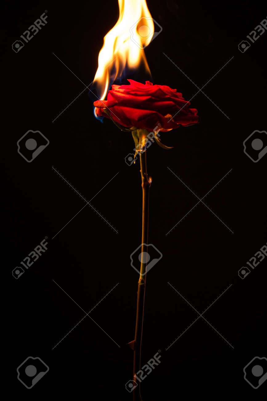 Beautiful Photo Of A Dark Red Rose On A Black Background On Fire Stock Photo Picture And Royalty Free Image Image 100151291