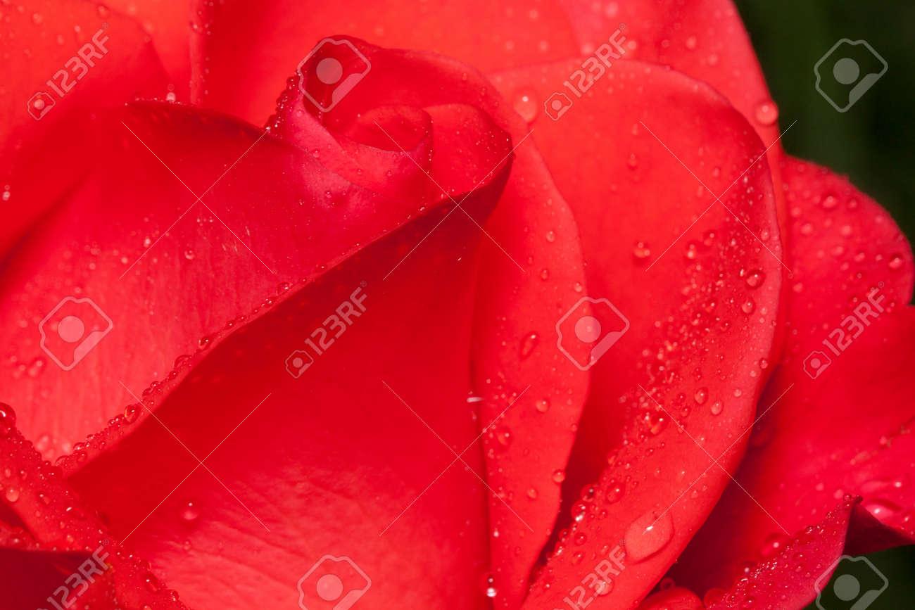 Petals of a beautiful pink rose is growing on a green meadow fotos foto de archivo petals of a beautiful pink rose is growing on a green meadow izmirmasajfo