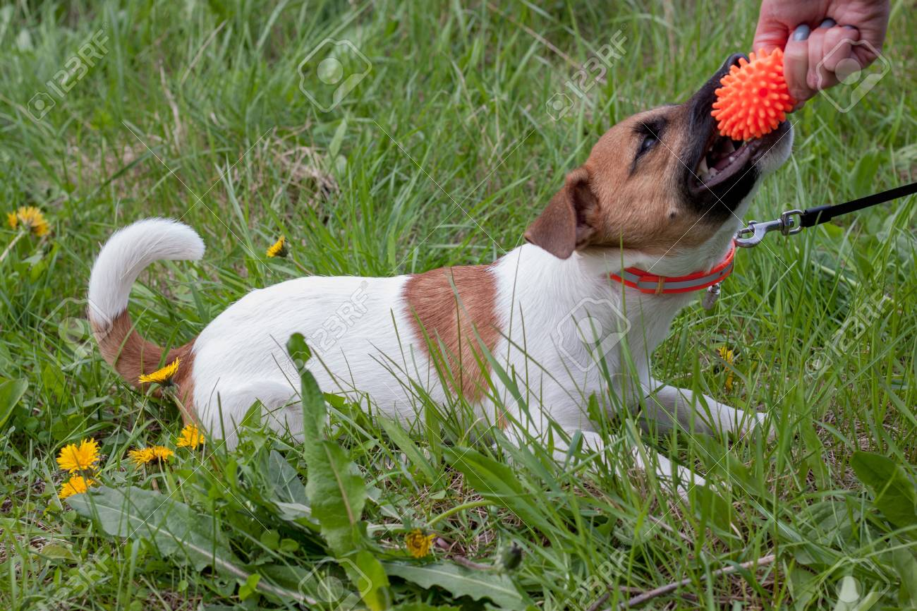 Cute jack russell terrier puppy is playing with his owner  Dog