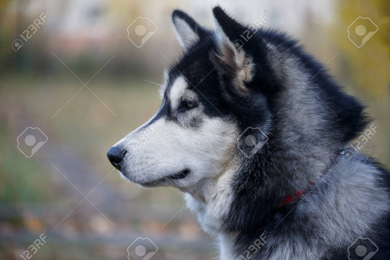 Cute Siberian Husky Close Up Pet Animals Purebred Dog Stock Photo