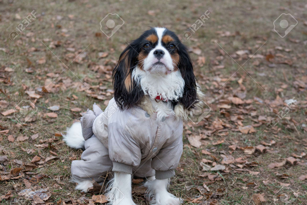 Cute Cavalier King Charles Spaniel In The Beautiful Pet Clothes Stock Photo Picture And Royalty Free Image Image 138333091