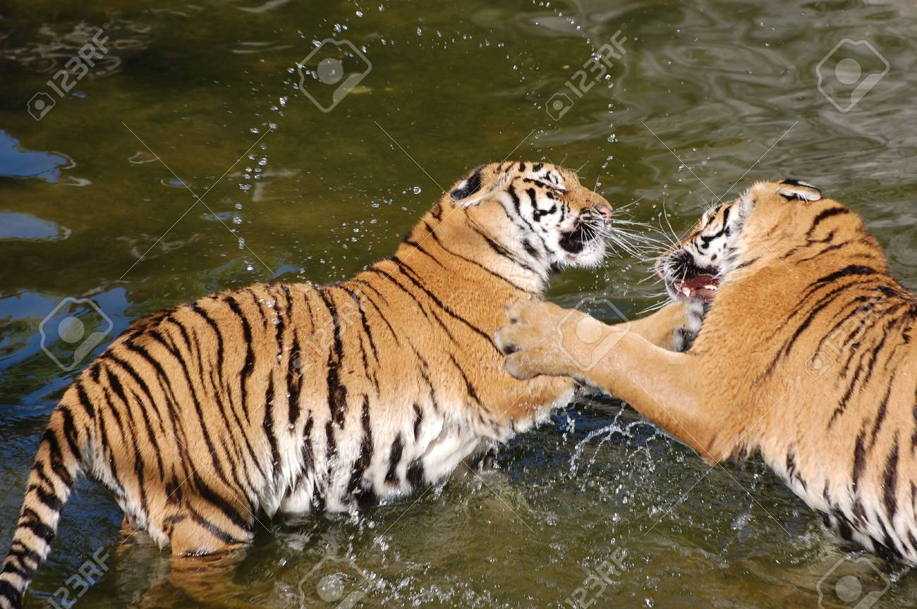 tigers play in the water Stock Photo - 5421503