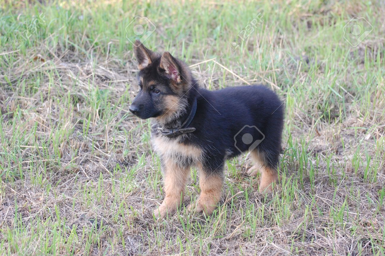 German Shepherd Dog Puppy Stock Photo Picture And Royalty Free