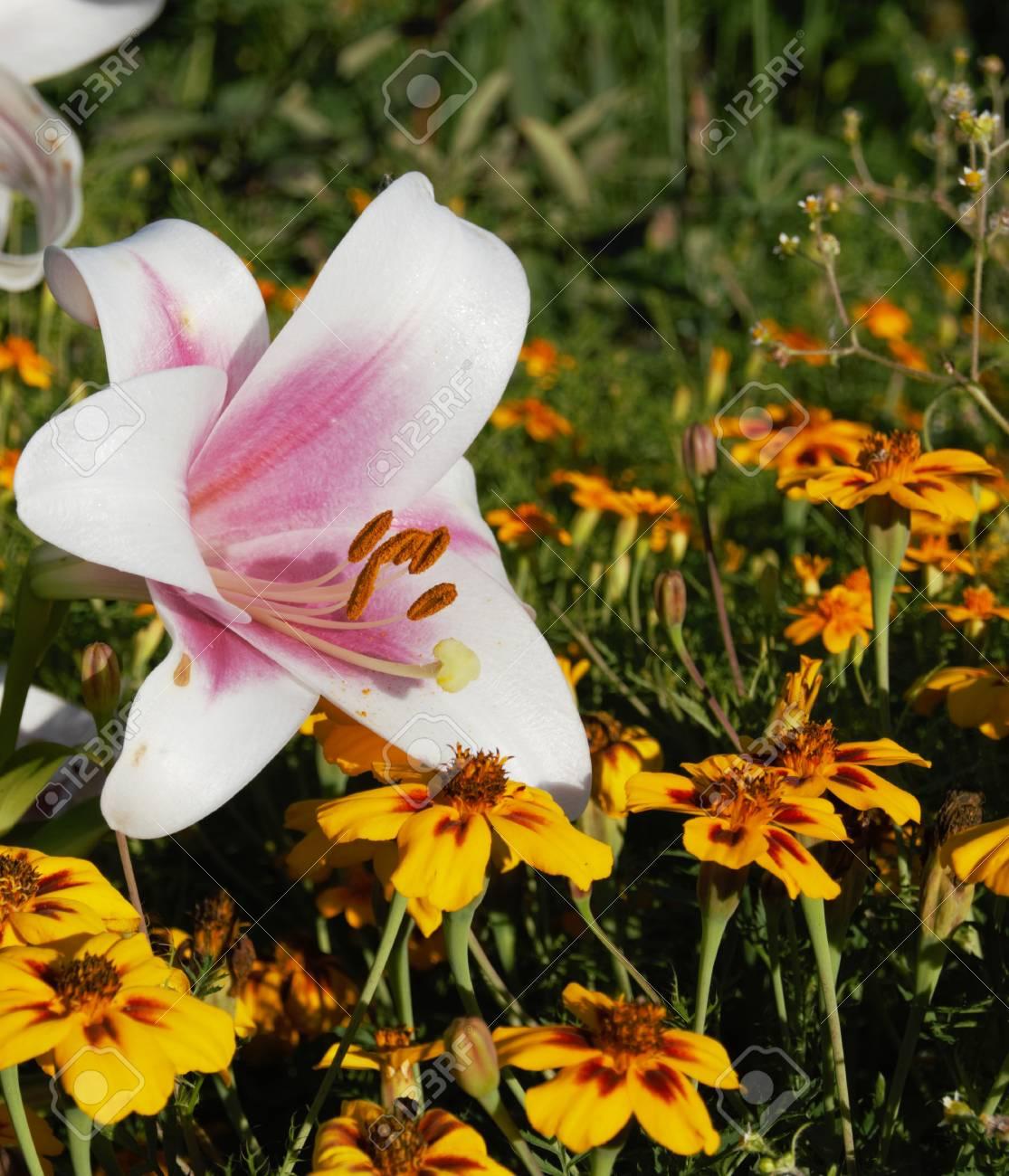 Fleur De Lys Petale De Fleur Blanche Banque D Images Et Photos