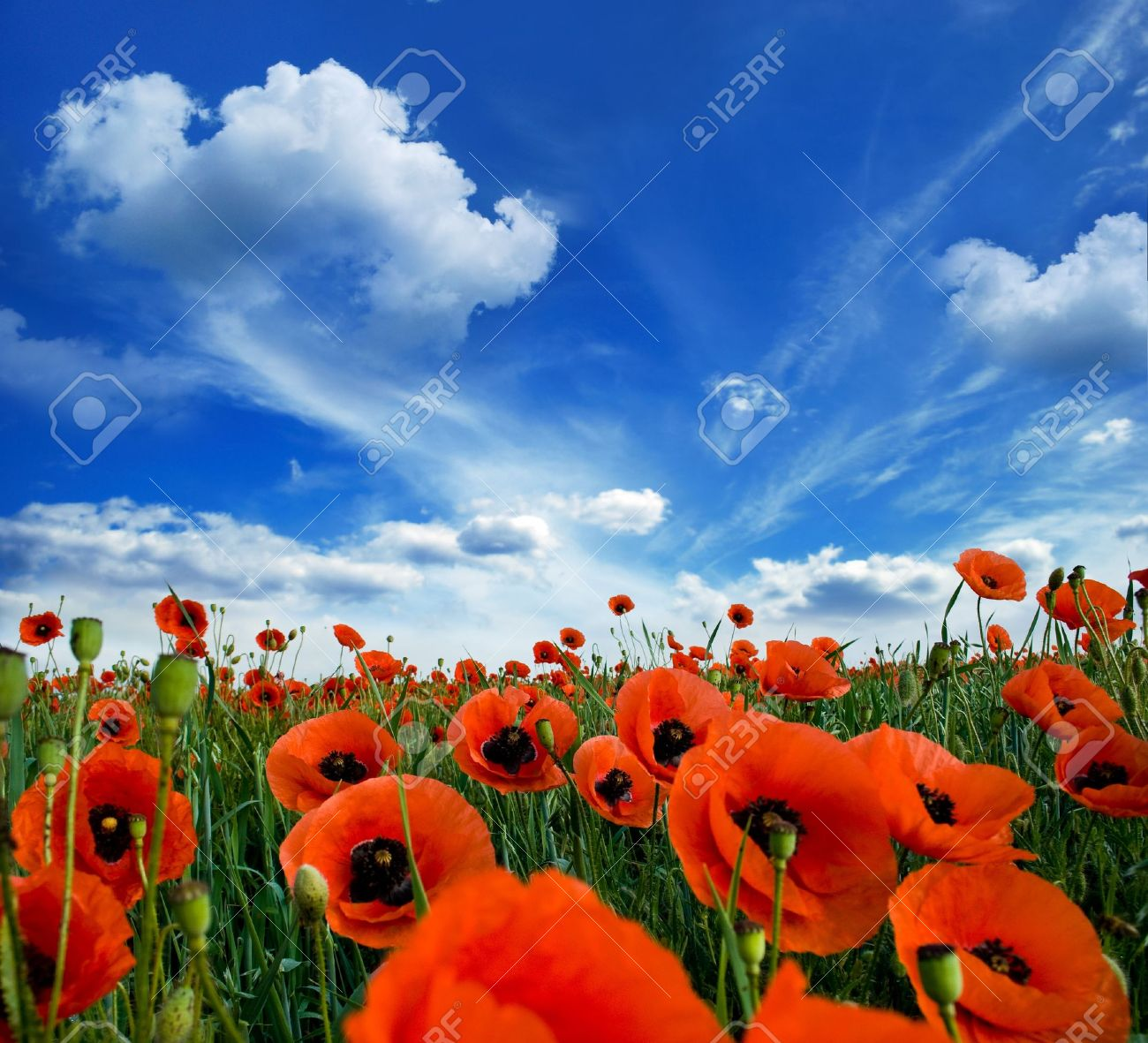 Poppies Blooming In The Wild Meadow High In The Mountains Stock ...