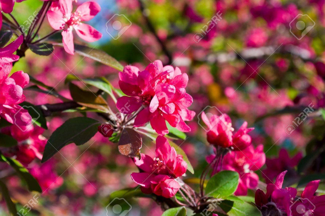 Ordinary Fruit Tree Flowers Part - 7: Red Flowers Of Fruit Trees In The Spring Garden Stock Photo - 10507853