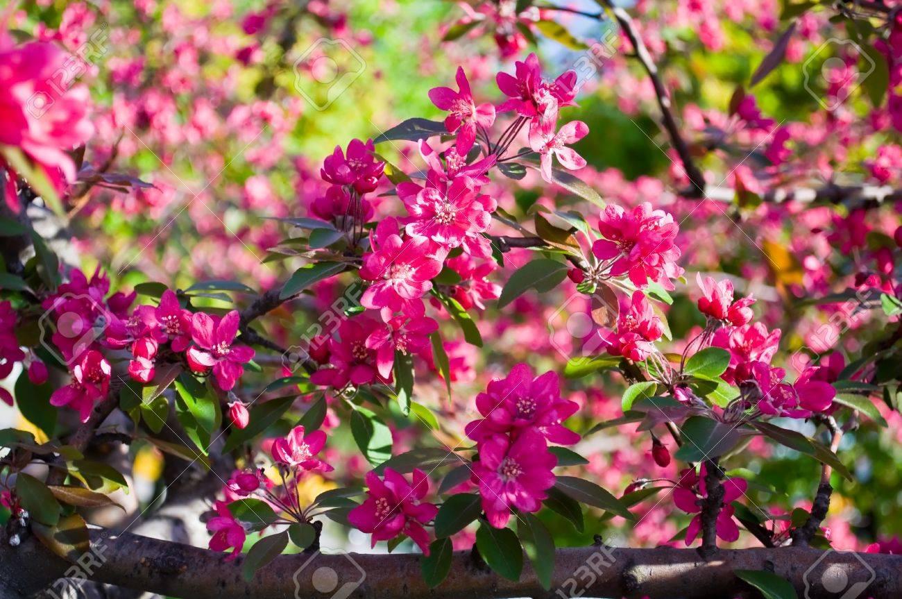 Las Flores Rojas De Los árboles Frutales En El Jardín De Primavera ...