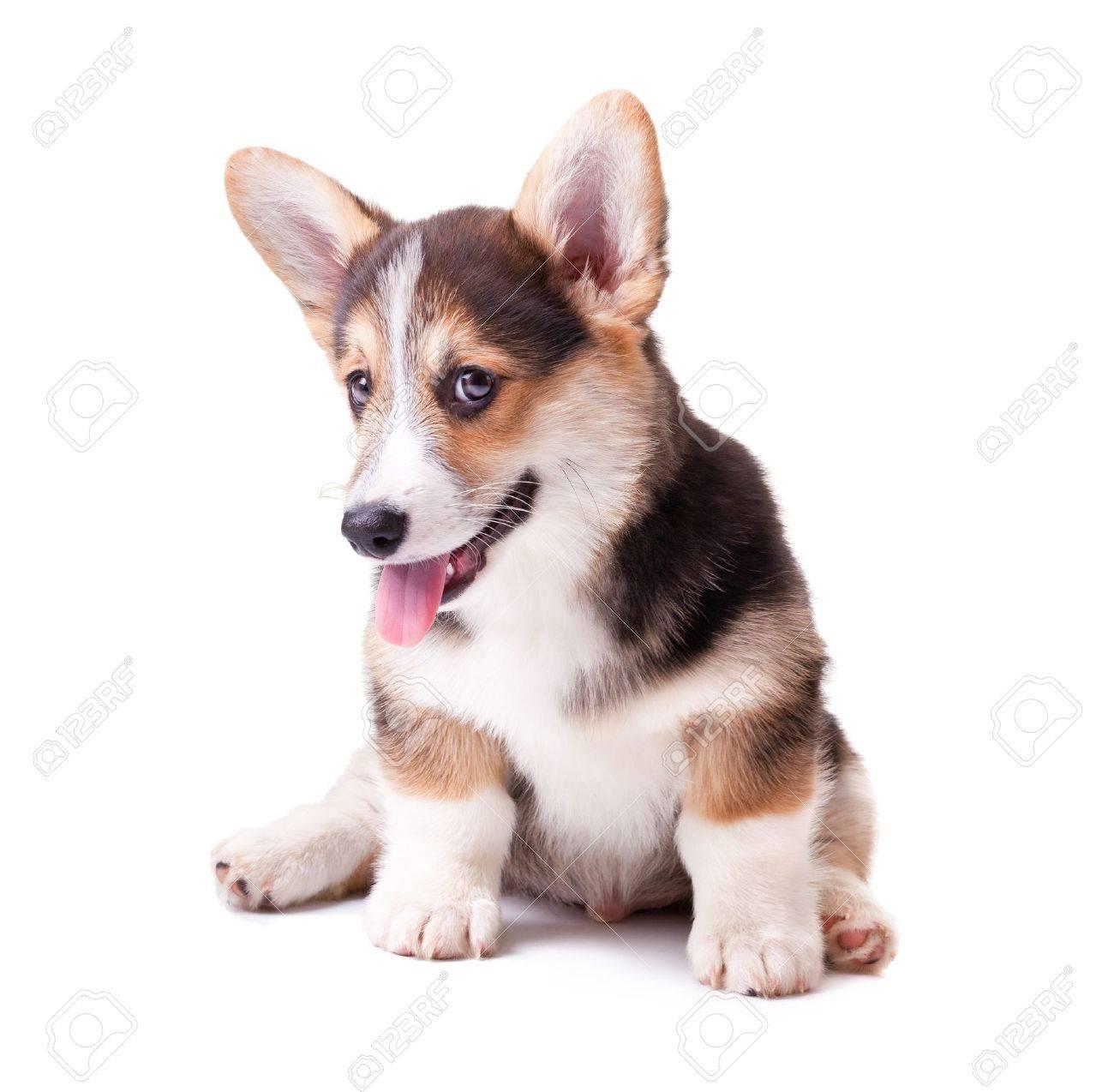 puppy dog breed Welsh Corgi, Pembroke on white Stock Photo - 13250570