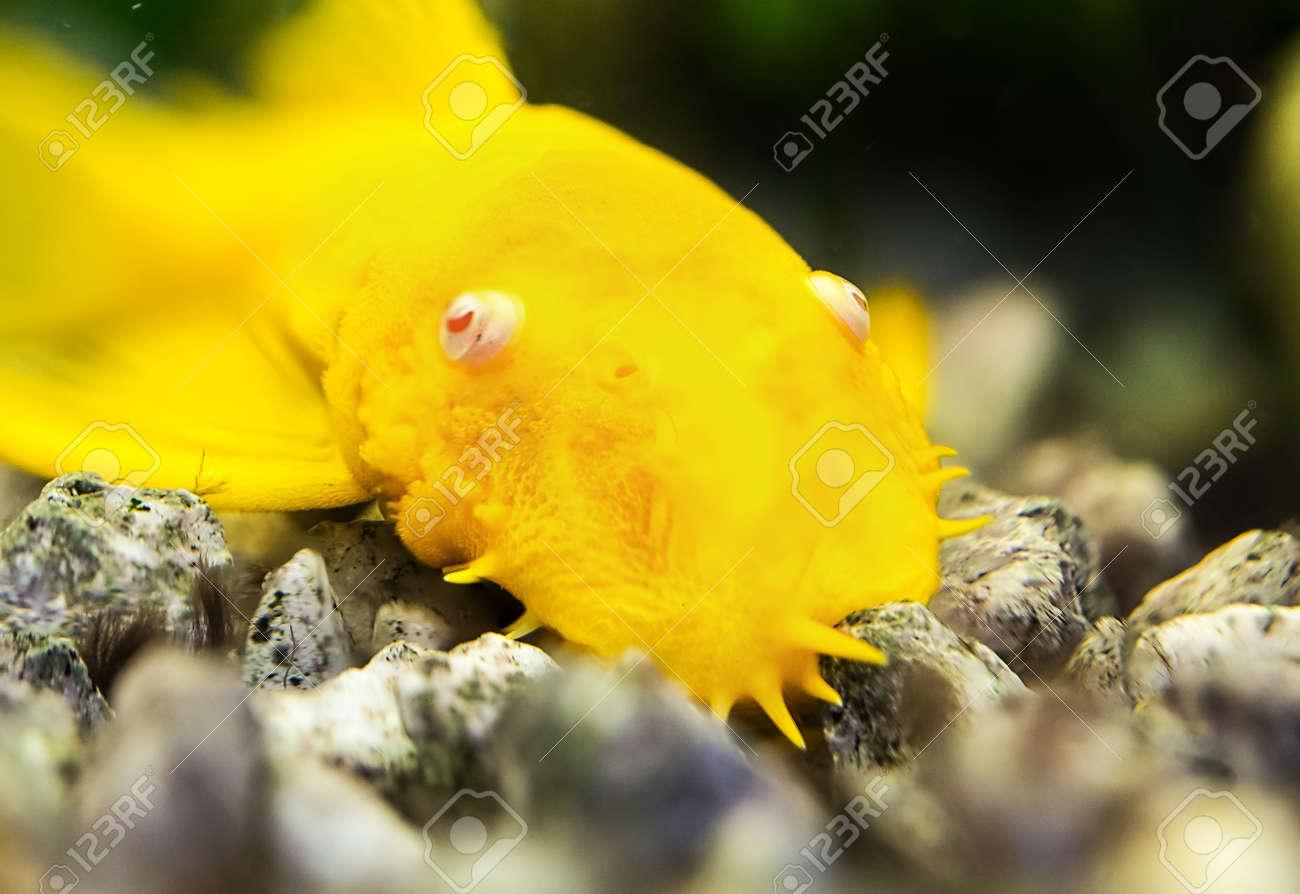Super Golden Ancistrus Pleco Catfish Male Albino Bristle-nose Stock FP-52