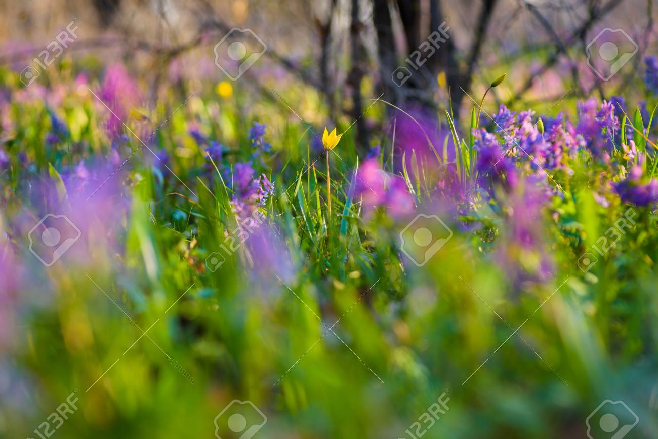 Yellow And Purple Spring Flowers On The Meadow Tulipa