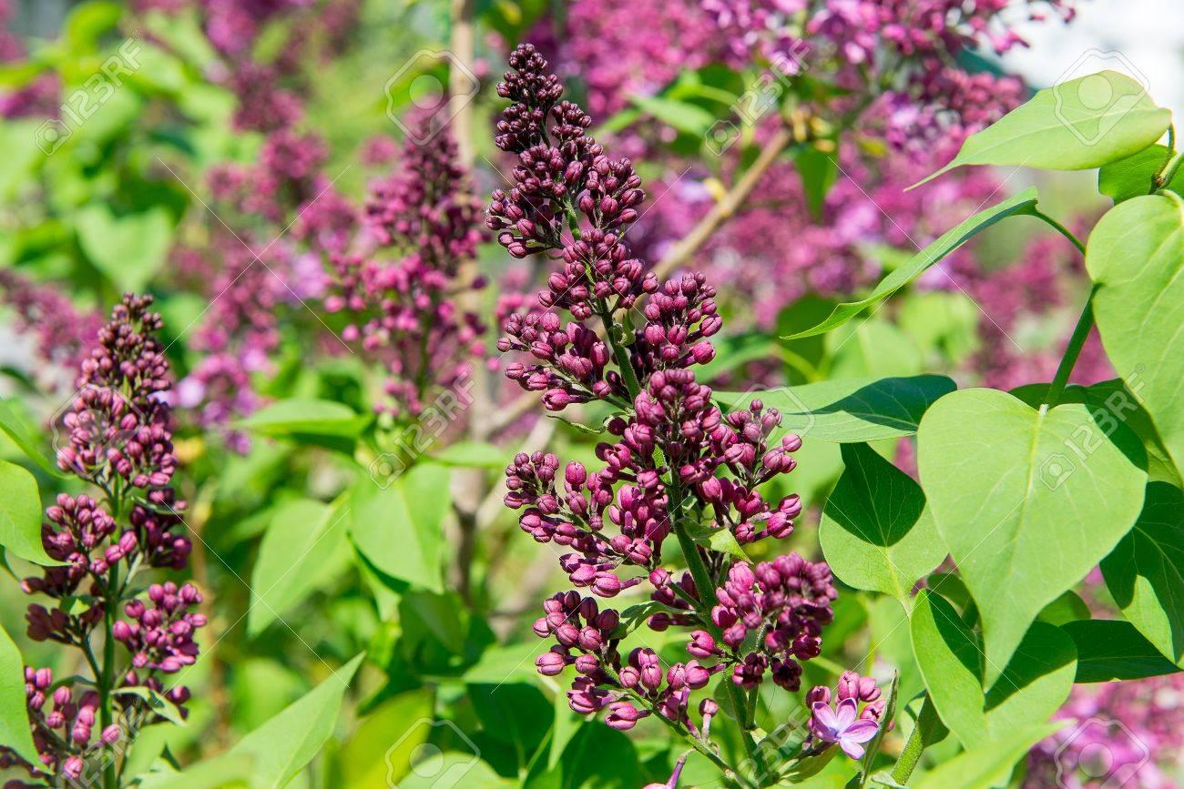 Fragrant Flowering Bush Of White Lilac In The Garden Stock Photo