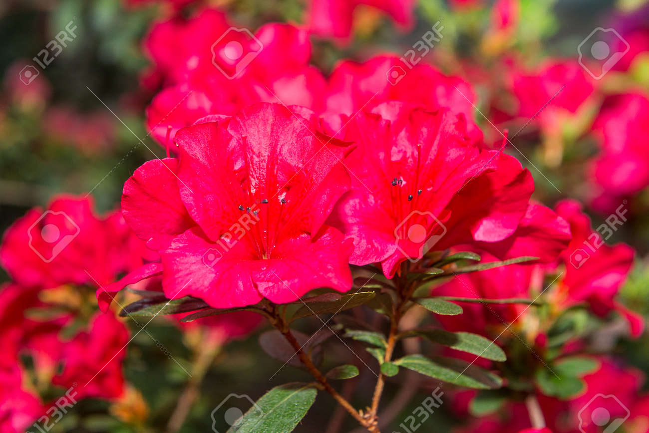 The Aroma Of Flowering Azaleas Of White, Pink, Red, Bard Colors ...