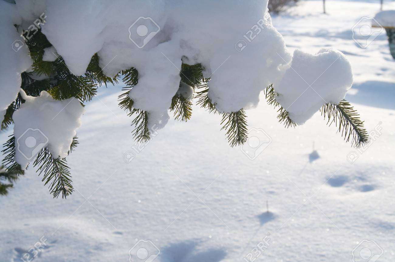 Snow on a Pine Branch Stock Photo - 797618