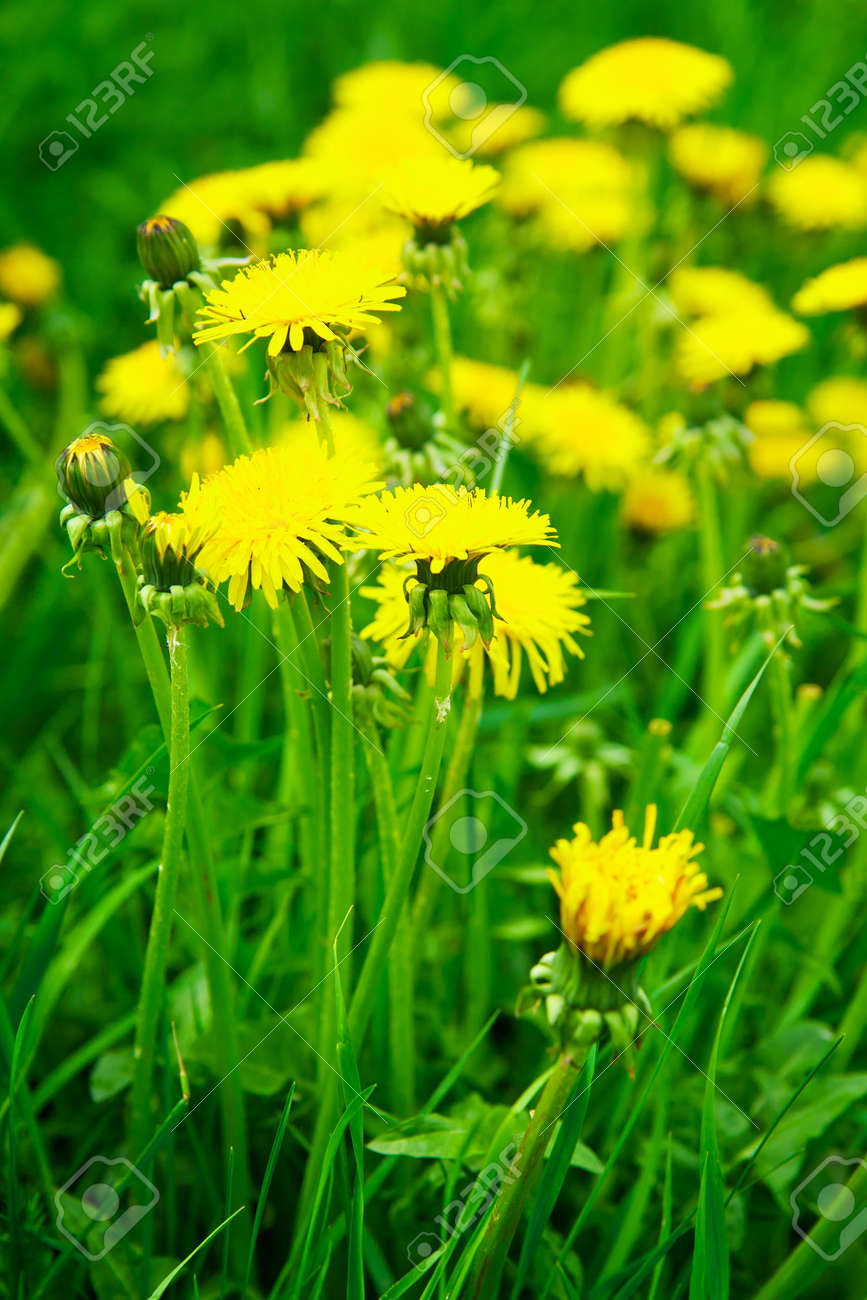 Meadow with yellow dandelions Stock Photo - 6937427