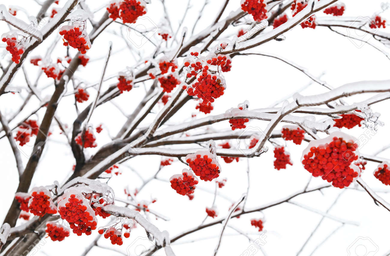 Branches of mountain ash in the ice Stock Photo - 9267716