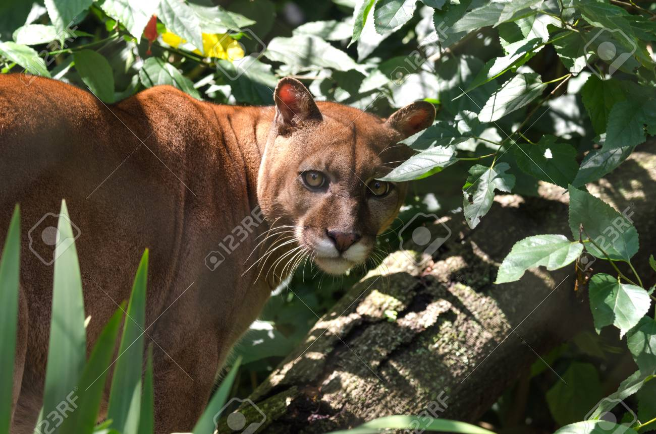 Puma Among Leaves In Brazil Stock Photo, Picture And Royalty Free ...