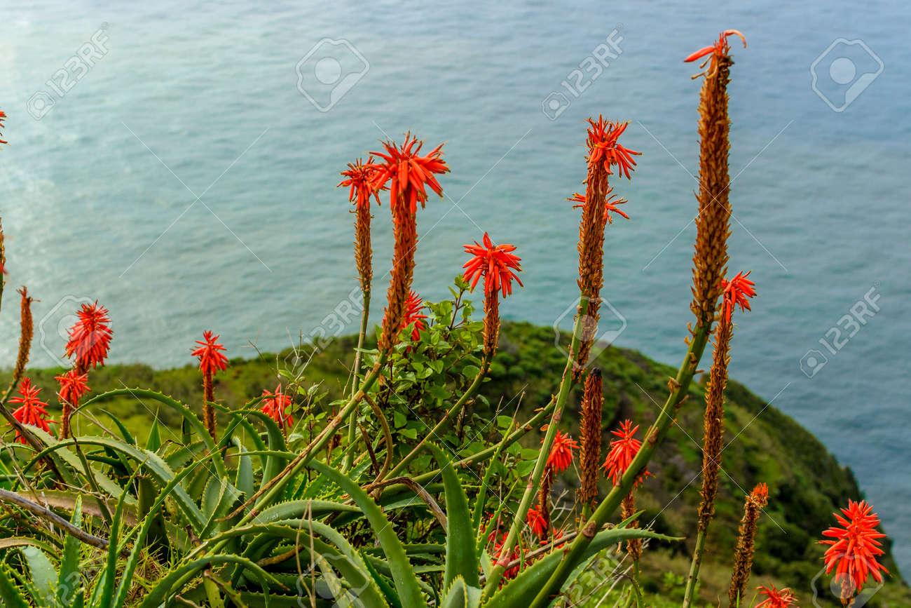Aloe Vera Fleur Qui Fleurit Pres De L Ocean Sur L Ile De Madere