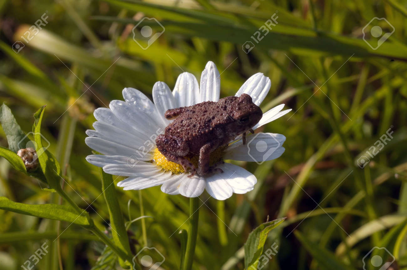 5609757-les-carpates-nature-for%C3%AAt-herbe-grenouille-fleurs-fleur-daisy-dew-une-grenouille-sur-une-fleur.jpg
