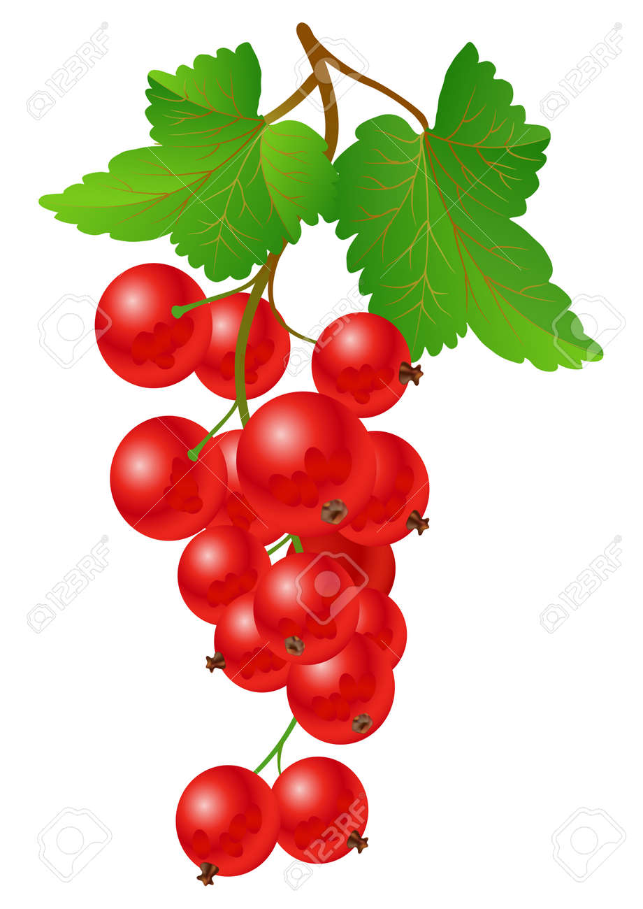 Currant red on bench on a white background - 7070240