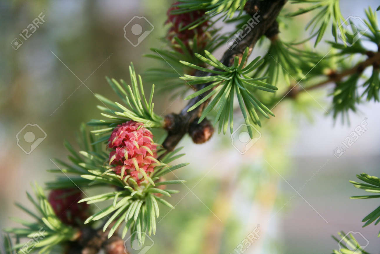 Pink flower pine tree in the period after bud stock photo picture pink flower pine tree in the period after bud stock photo 58148995 mightylinksfo