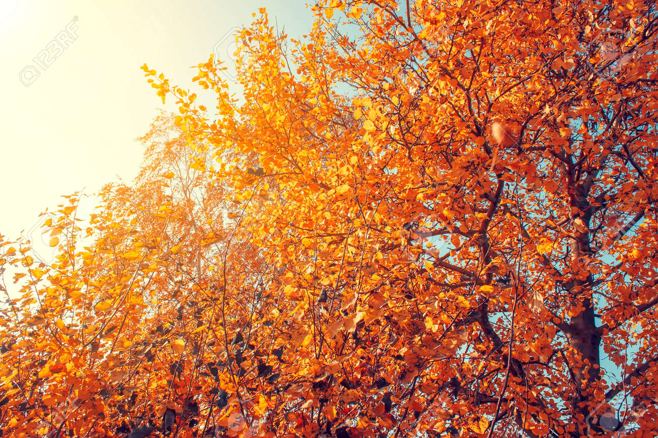 Yellow Autumn Trees In The Sunlight Autumn Background Stock Photo Picture And Royalty Free Image Image 122113095