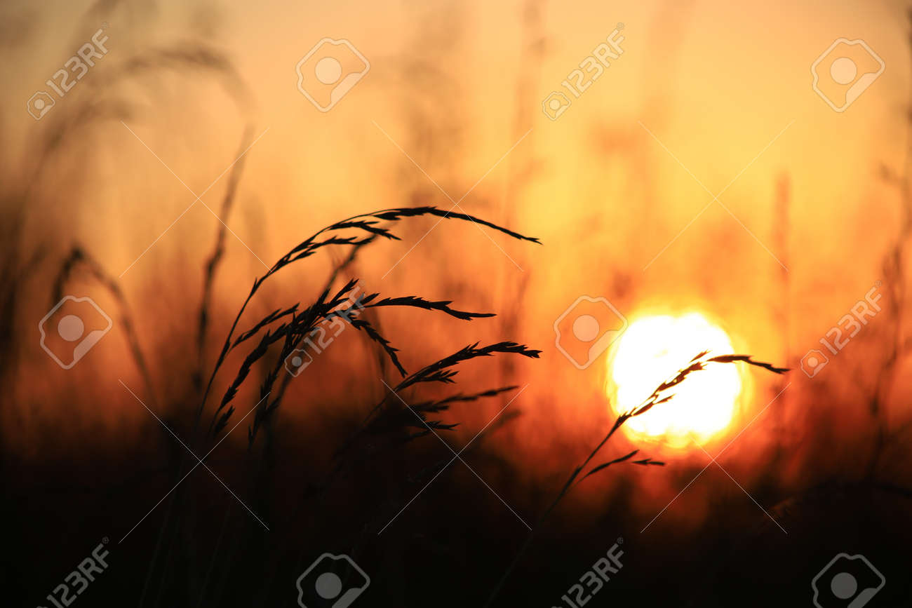 Silhouette of grass against the golden sunset background in summer time - 151742706
