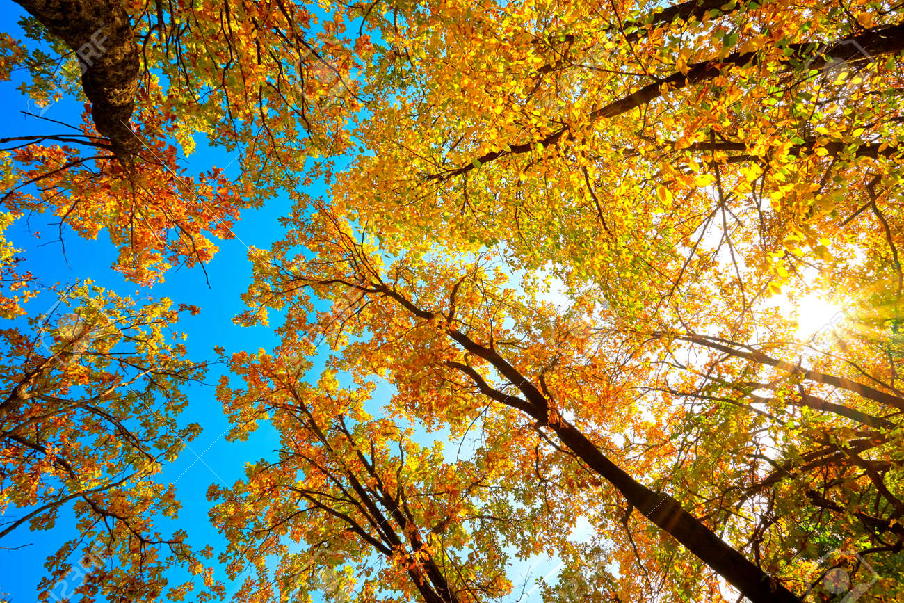Beautiful natural autumn landscape with a view from the bottom to the trunks and tops of trees with Golden bright orange autumn foliage. - 167487459