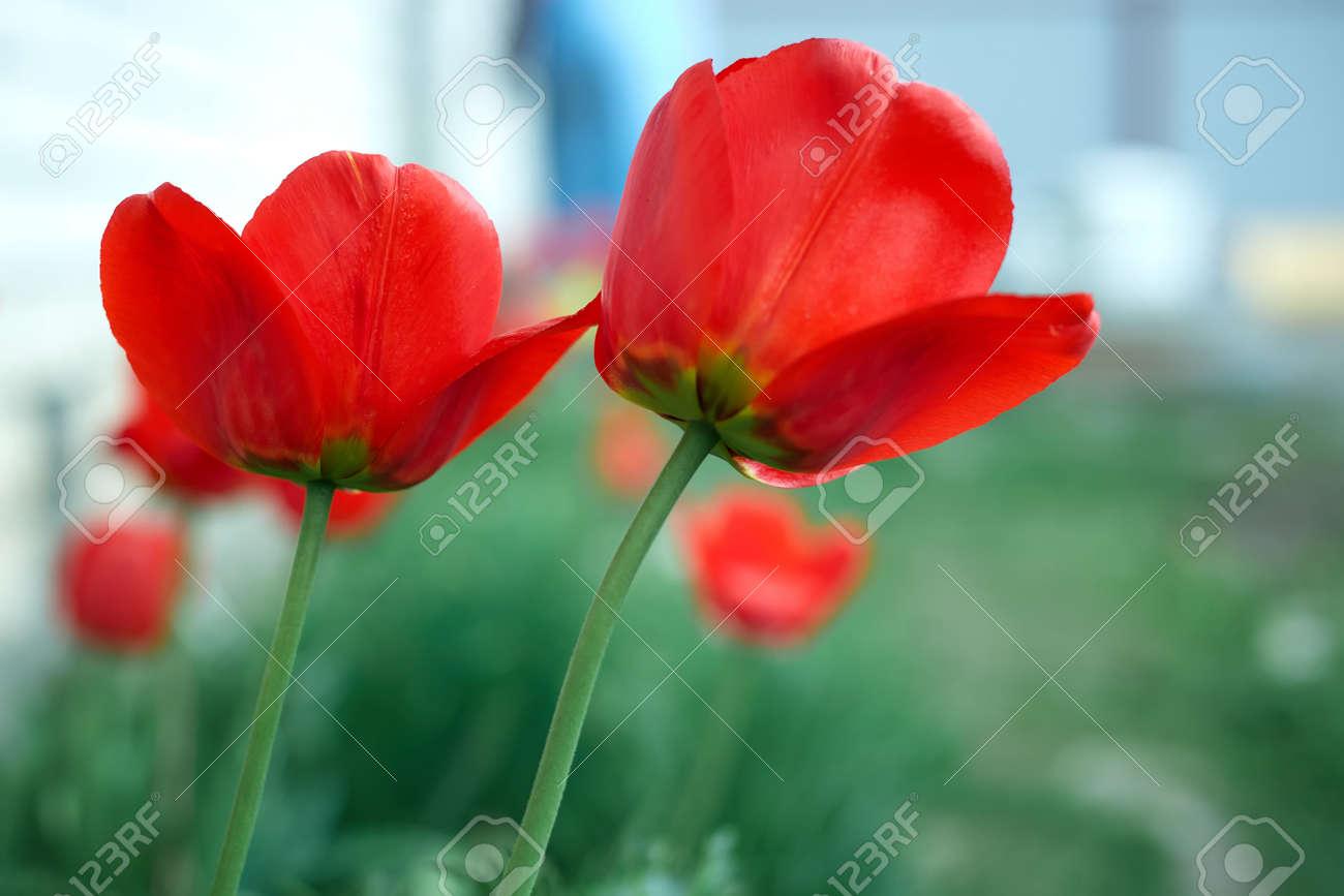 Red tulips in the garden. Summer flowers - 169789075