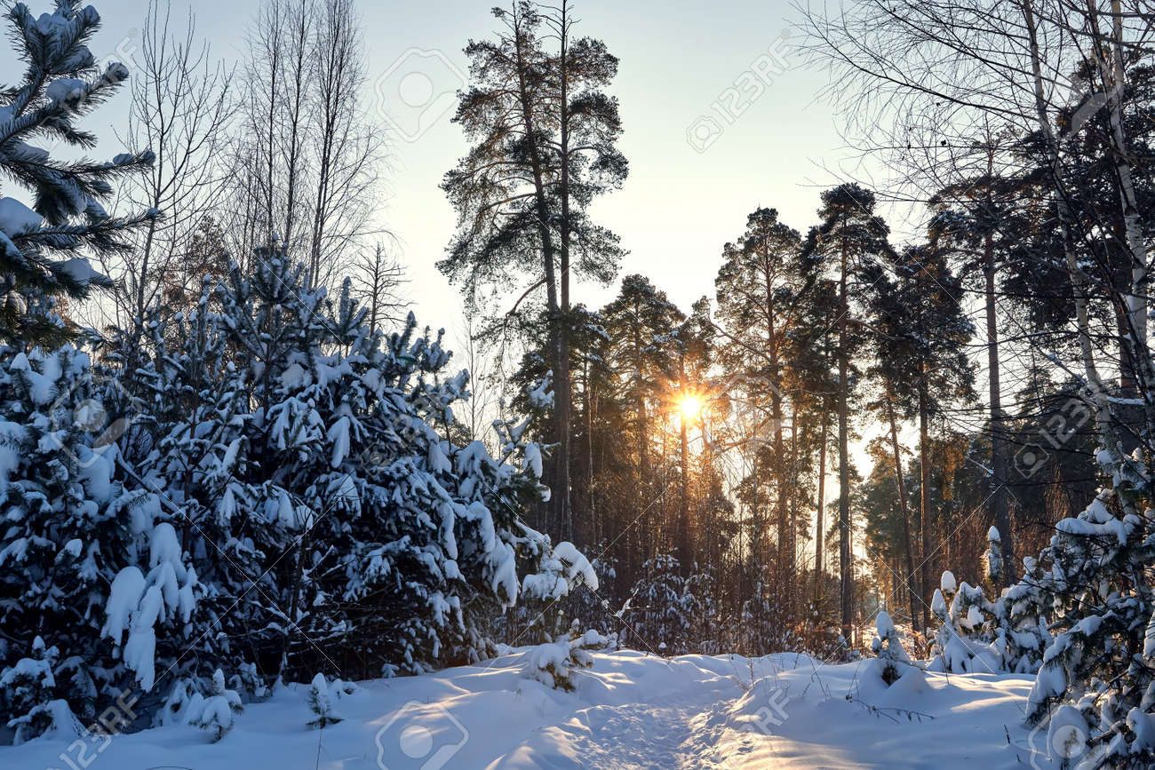 Landscape with winter forest and bright sunbeams. Sunrise, sunset in beautiful snowy forest. Winter pine forest in sunny frozen day - 172289750