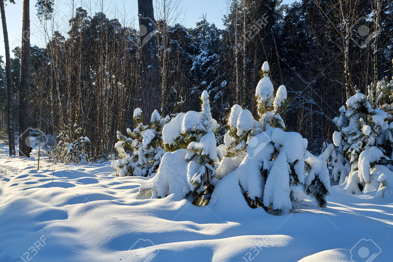 Landscape with winter forest and bright sunbeams. Sunrise, sunset in beautiful snowy forest. Winter pine forest in sunny frozen day - 172289744