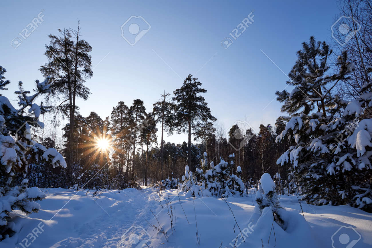 Landscape with winter forest and bright sunbeams. Sunrise, sunset in beautiful snowy forest. Winter pine forest in sunny frozen day - 172289724