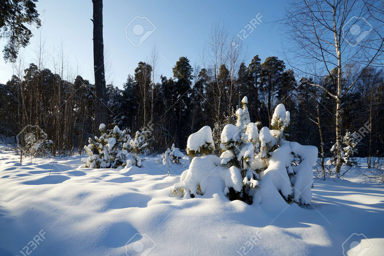 Young pines in the winter snowy forest in Russia - 172289593