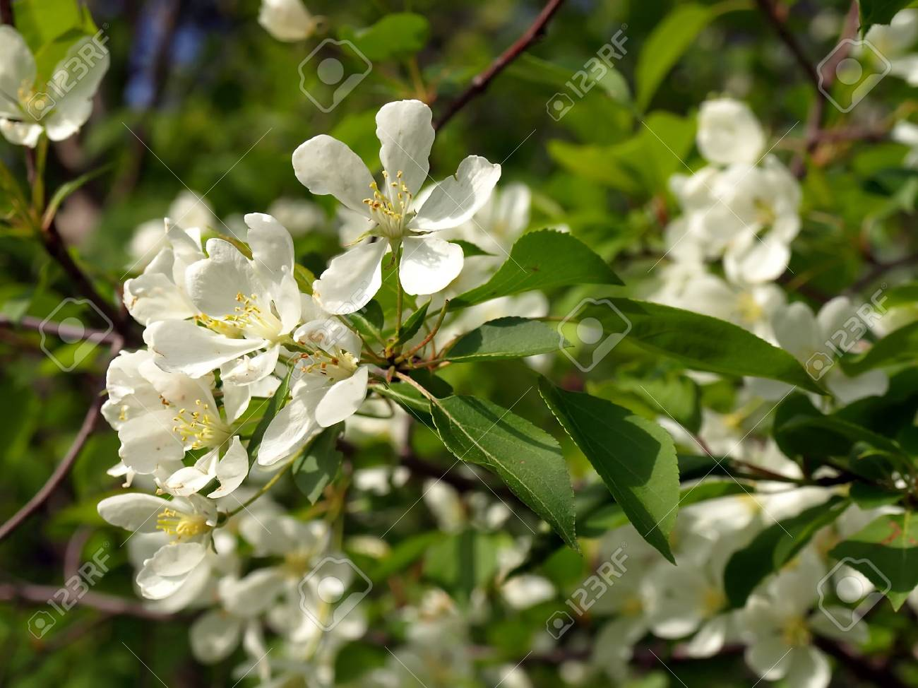 Blossom peartree Stock Photo - 6248621